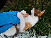 O gato que joga com braço e que olha afastado Fotografia de Stock