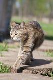 O gato que toma uma caminhada Imagem de Stock Royalty Free