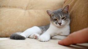 O gato relaxa o descanso manchado sobre no sofá o gato bonito dentro pet o descanso video estoque
