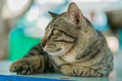 O gato relaxa na tabela de madeira Fotografia de Stock Royalty Free