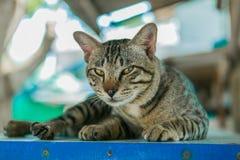 O gato relaxa na tabela de madeira Fotos de Stock Royalty Free