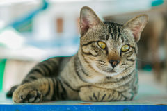 O gato relaxa na tabela de madeira Imagem de Stock