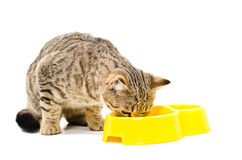 O gato reto escocês come Fotos de Stock Royalty Free
