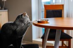 O gato rouba o alimento da tabela fotografia de stock