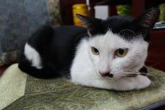 O gato senta-se agachado Foto de Stock Royalty Free