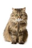 O gato senta-se e relógios Imagens de Stock
