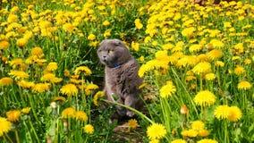 O gato senta-se entre os dentes-de-leão Imagem de Stock Royalty Free