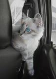 O gato senta-se no carro no assento do passageiro Imagens de Stock