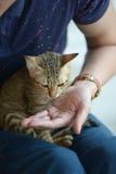 O gato senta-se no regaço com mão do alimento de alimentação do indivíduo para ele Fotos de Stock