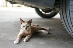 O gato senta-se sob o carro Imagens de Stock