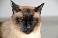 O gato siamese assustado relaxa Imagem de Stock