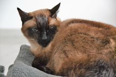 O gato siamese assustado relaxa Fotografia de Stock Royalty Free