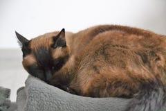 O gato siamese assustado relaxa Imagem de Stock Royalty Free