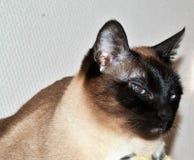 O gato siamese assustado relaxa Foto de Stock Royalty Free
