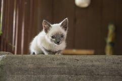 O gato Siamese de Shorthair está andando no asfalto Gatinho doméstico pequeno eyed azul Animal de estimação da vila Pele cremosa  imagens de stock royalty free