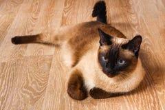O gato Siamese ou tailandês encontra-se no assoalho O gato é deficiente Três patas, nenhum membro Imagem de Stock Royalty Free