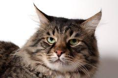 O gato siberian fotos de stock