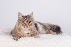 O gato Siberian está olhando dianteiro fotos de stock royalty free