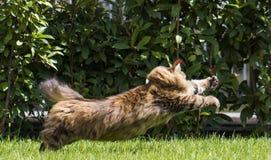O gato siberian fêmea do gato malhado marrom bonito persegue uma borboleta imagem de stock