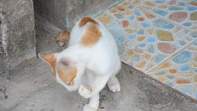 O gato tailandês doméstico friccionou a cara video estoque