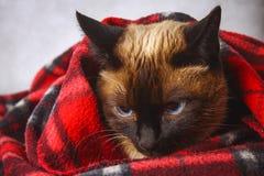 O gato tailandês Siamese é envolvido em uma manta com um brinquedo macio O conceito do outono, inverno, frio Aquecimento de esper Fotos de Stock Royalty Free