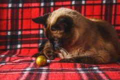 O gato tailandês Siamese em uma manta vermelha com Natal brinca, decoração, ornamento Um gato está jogando com brinquedos Imagens de Stock