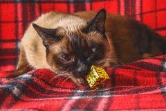 O gato tailandês Siamese em uma manta vermelha com Natal brinca, decoração, ornamento Um gato está jogando com brinquedos Fotos de Stock Royalty Free