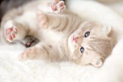 O gato toma de seu gatinho, lambendo o Imagens de Stock Royalty Free