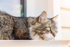 O gato três-colorido bonito com lãs longas e os olhos verdes encontra-se em um peitoril da janela em casa e olha-se longe Foto do imagem de stock