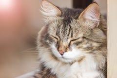 O gato tr?s-colorido bonito com mentiras longas de l?s cegamente Foto do ver?o O gato tem um resto e relaxs Serenidade e tranquil foto de stock