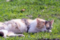 O gato tricolor Fotos de Stock Royalty Free