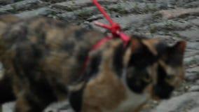 O gato Tricolor em uma trela vermelha corre ao longo de uma trilha de sujeira no parque no verão contra o contexto de árvores ver ilustração do vetor