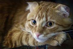 O gato vermelho é calmo com olhos tristes foto de stock royalty free