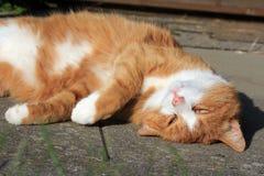 O gato vermelho Fotos de Stock Royalty Free