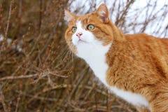 O gato vermelho Imagem de Stock