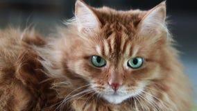 O gato vermelho bonito está olhando a câmera vídeos de arquivo