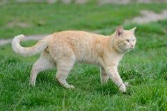 O gato vermelho brilhante com turquesa eyes para uma caminhada Imagem de Stock Royalty Free