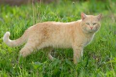 O gato vermelho brilhante com turquesa eyes para uma caminhada Imagens de Stock Royalty Free
