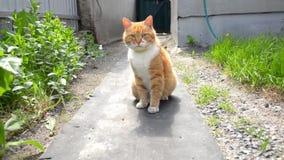 O gato vermelho com colar verde senta-se perto da casa e da cerca entre plantas de jardim video estoque