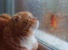 O gato vermelho do scottishfold olha na janela no outono deixado Foto de Stock Royalty Free