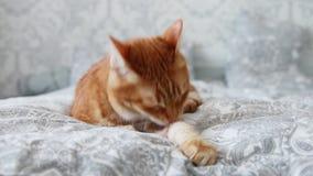 O gato vermelho doméstico do close up encontra-se na cama e lambe-se sua pata video estoque