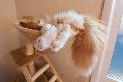 O gato vermelho dorme em uma rede foto de stock royalty free