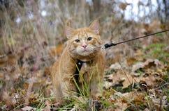 O gato vermelho em uma trela senta-se na grama do outono fotografia de stock