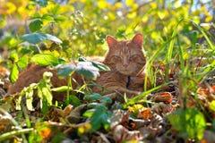 O gato vermelho encontra-se no outono a grama imagem de stock