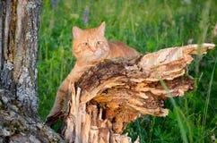 O gato vermelho está sentando-se em uma árvore em uma floresta no verão foto de stock royalty free