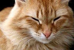 O gato vermelho modesto senta-se e olha-se fixamente com olhos entreabertos Foto de Stock