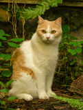 O gato vermelho relaxa Foto de Stock Royalty Free