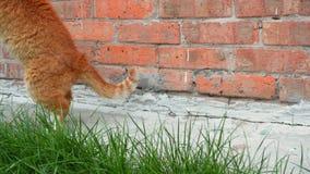 O gato vermelho senta-se e joga-se perto da parede de tijolo alaranjada, trava-se uma mosca e come-se a vídeos de arquivo