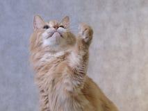 O gato vermelho trava algo Imagens de Stock Royalty Free