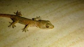 O geco minúsculo que viveu em minha cozinha imagens de stock